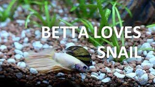 Zebra Nerite Snail   Beginner Guide