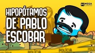 Os Hipopótamos de Pablo Escobar - Mega Curioso