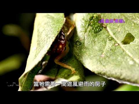 《昆蟲捉迷藏》蟋蟀與螽斯的綜合體【紡織專家:蟋螽】 - YouTube