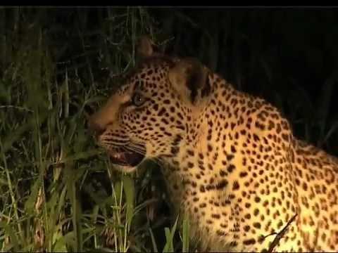 Leopard Safari in Elephant Plains Game Lodge