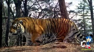 Bengal Tiger roar sound / Rugido del Tigre de Bengala