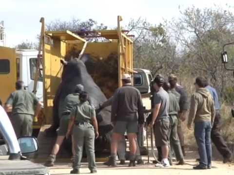 Odławianie nosorożca w Parku Krugera 3/3
