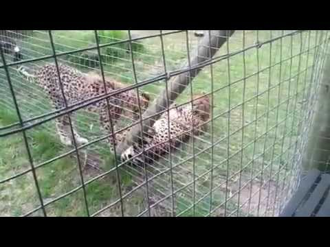 Playing with Joseph the Cheetah in South Africa!