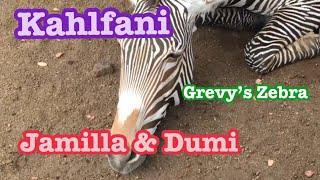 Zebra 🦓Male  Jay シマウマさん オスは今日も頑張りますw Los Angeles Zoo ロスアンジェルス動物園