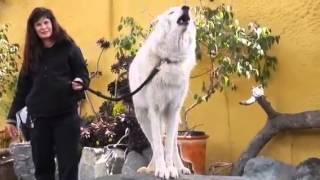 El gran lobo blanco aullando