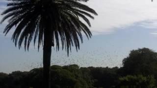 Fledermäuse Bats in Sydney - Centenialpark