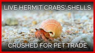 Live Hermit Crabs' Shells Crushed for Pet Trade