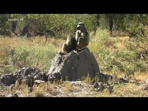 harufrei: Botswana – Moremi Safari