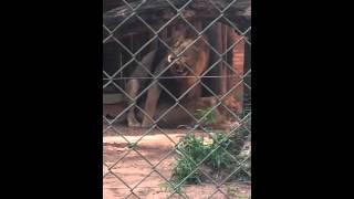 Leão fazendo amor