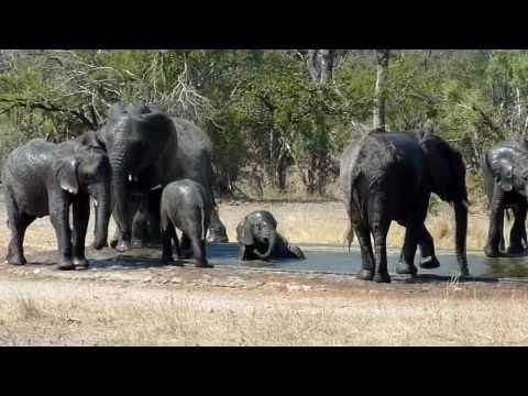 Elephants Bathing in the Kruger National Park
