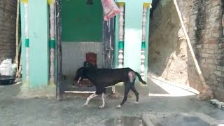 Miracle! Dog work-shipping Lord Shiva in Banda UP