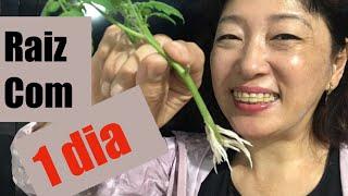 ⭐️ PÓ MÁGICO fez enraizar galho de tomate em APENAS 1 DIA! É SEGREDO ? mas eu conto SÓ para VOCÊ ?