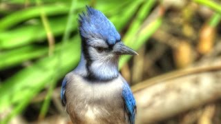 Blue Jay Alarm Call Alerts Backyard Squirrels and Birds