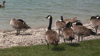 Calming Nature Scenes - Canadian Geese - Lake - Relaxing Music