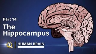 Hippocampus - Human Brain Series - Part 14