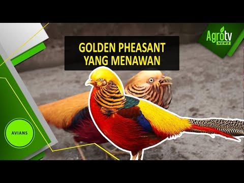 Download Video GOLDEN PHEASANT YANG MENAWAN