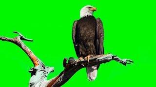 BALD EAGLE ON GREEN SCREEN ( REAL SHOOTING )