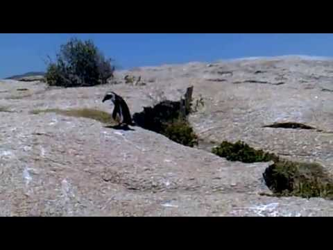 Penguin taking a stroll across a boulder