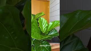 Aqui é o Ficus lyrata, tá passada?