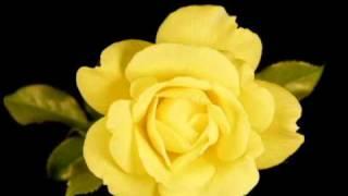 Yellow Rose Blooming