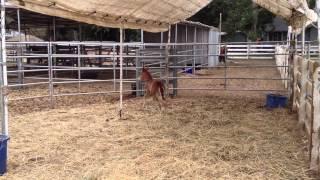 Foal 1 week old running figure eights around Moma!