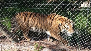 Angry Bengal Tiger In Captivity Warns Tourists To Stay Back!