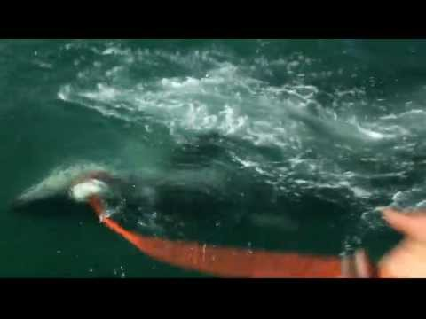 Great White Shark Attacks
