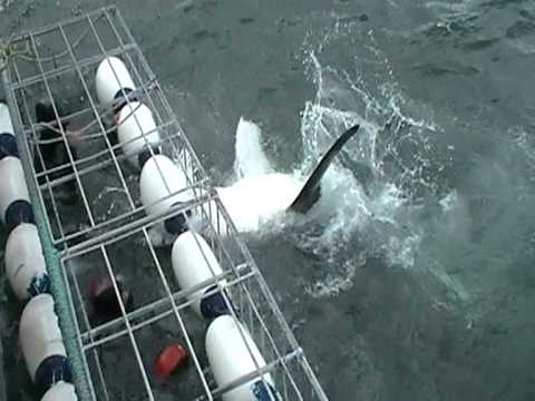 White shark cage dive South Africa