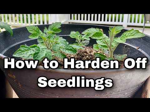 How to Harden Off Seedlings - Acclimating Plants Outdoors