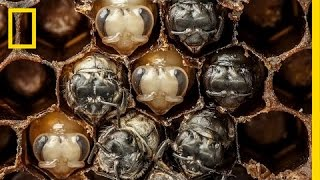 Amazing Time-Lapse: Bees Hatch Before Your Eyes | National Geographic