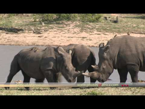 Rhinos at Dam HD – South Africa Travel Channel 24 – Wildlife