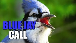 Blue Jay Call