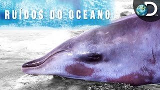 O estranho evento das baleias encalhadas nas Bahamas - Ruídos do Oceano l Discovery Channel