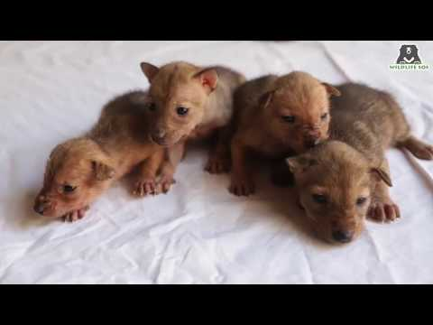 Jackal pups rescued and released back into the wild