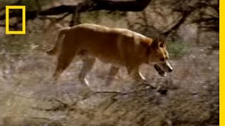 Kangaroo vs Dingo | National Geographic