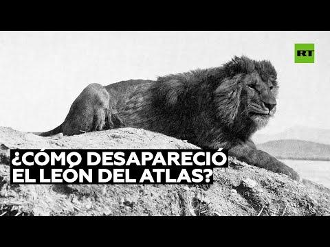Esta foto muestra al último león del Atlas en libertad