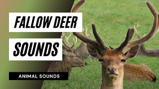 The Animal Sounds: Fallow Deer Barking - Sound Effect - Animation