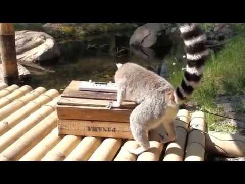 Lemur Entertain You