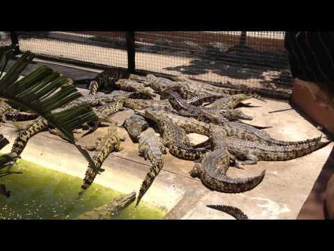 Crocodile Feeding in St. Lucia, South Africa