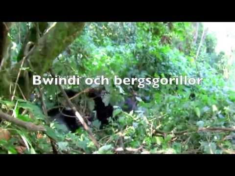 Aggressive mountain gorillas in Bwindi