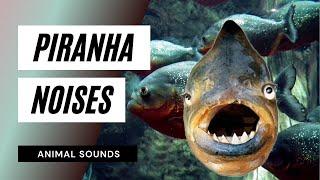 The Animal Sounds:  Piranha Noises - Sound Effect - Animation