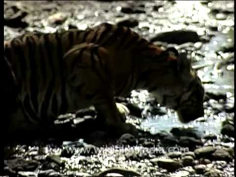 Lap it up – Tigress drinking from a stream in Kanha National Park