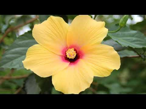 Trandafirul chinezesc şi narcisele galbene
