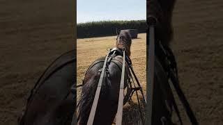 Speedy shetland pony driving Ollie