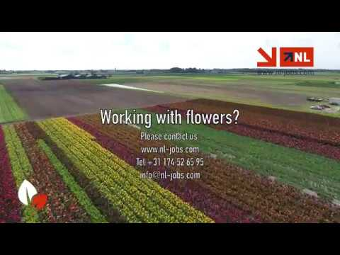 Working in Holland with flowers, NL Jobs photo