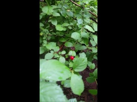Nanking Cherries - In the Secret Garden of Survival