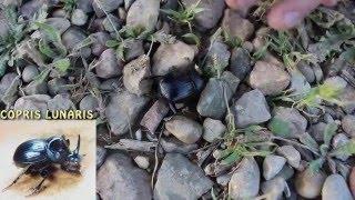 Escarabajo rinoceronte estercolero (Copris hispanus) Un precioso macho