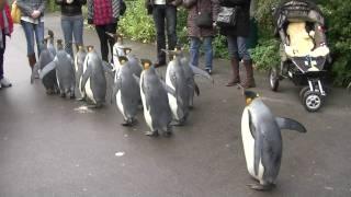 Penguin Walk - Zoo Basel [HD]