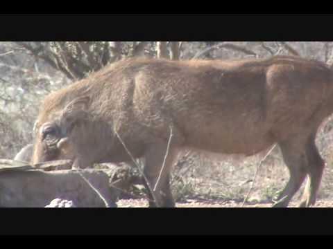 Diekie's Wartie – Diekie Muller Hunting Safaris Bow Hunting South Africa