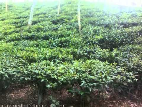 Oraon Tribal Community in Bangladesh & Few Parts of Tea Garden at Srimangal